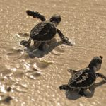 """""""Protect Baby Turtles"""" Program With Emirates Marine Environmental Group"""