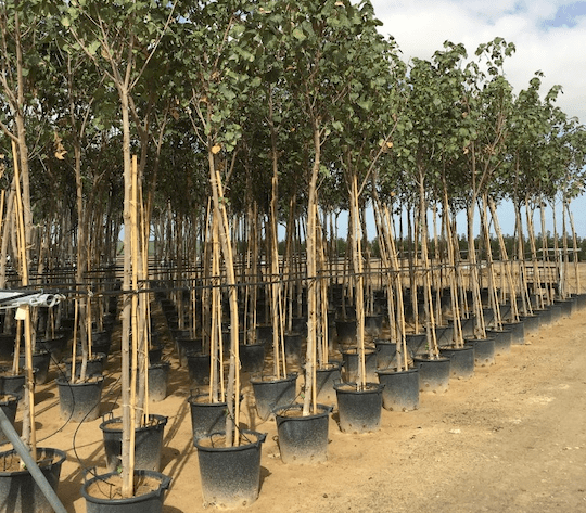 Dubai plants 6,000 trees a month