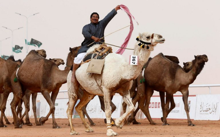 Camel beauty contest to return as part of Al Dhafra Festival this year