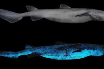 Giant glow-in-the-dark sharks found in the deep sea