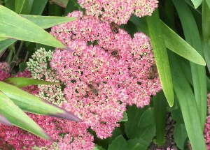 "Honey bees on sedum ""Autumn Joy"""