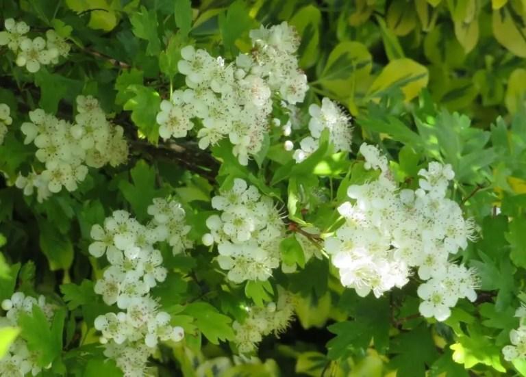 Hawthorn tree blossom