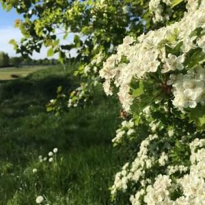 Hawthorn Tree on a hedgerow