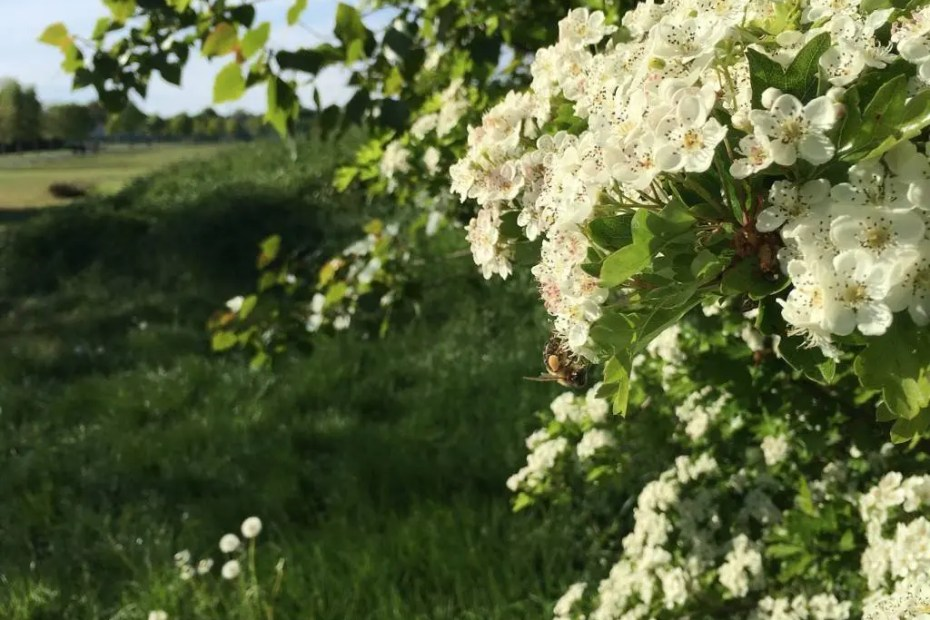 Hawthorn Tree on a hedgerow