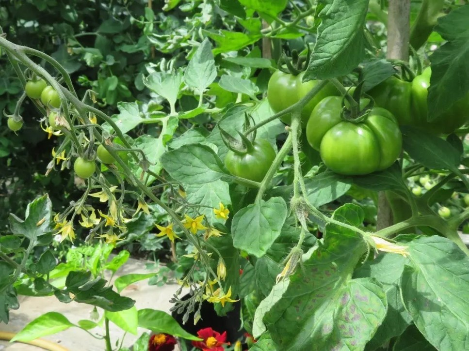 Beefsteak and cherry tomatoes on the vine
