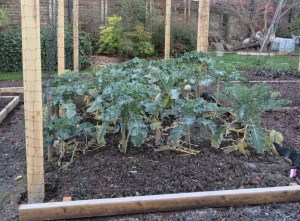 Purple sprouting broccoli in December