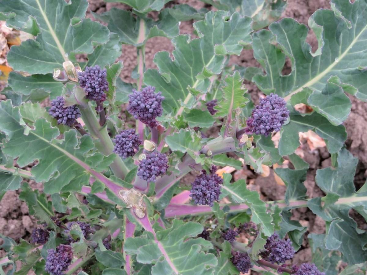 Late purple sprouting broccoli