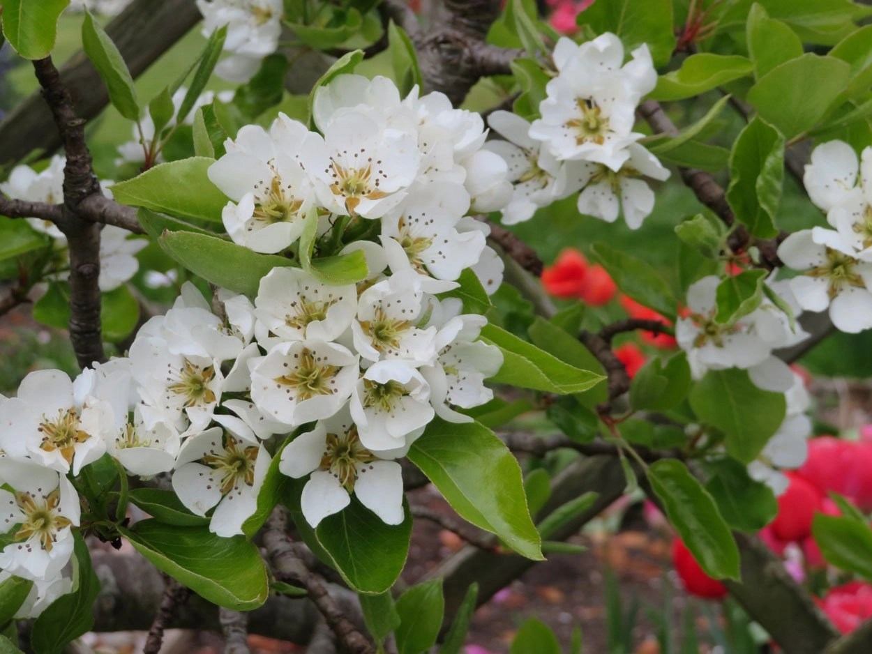 Pear tree blosson
