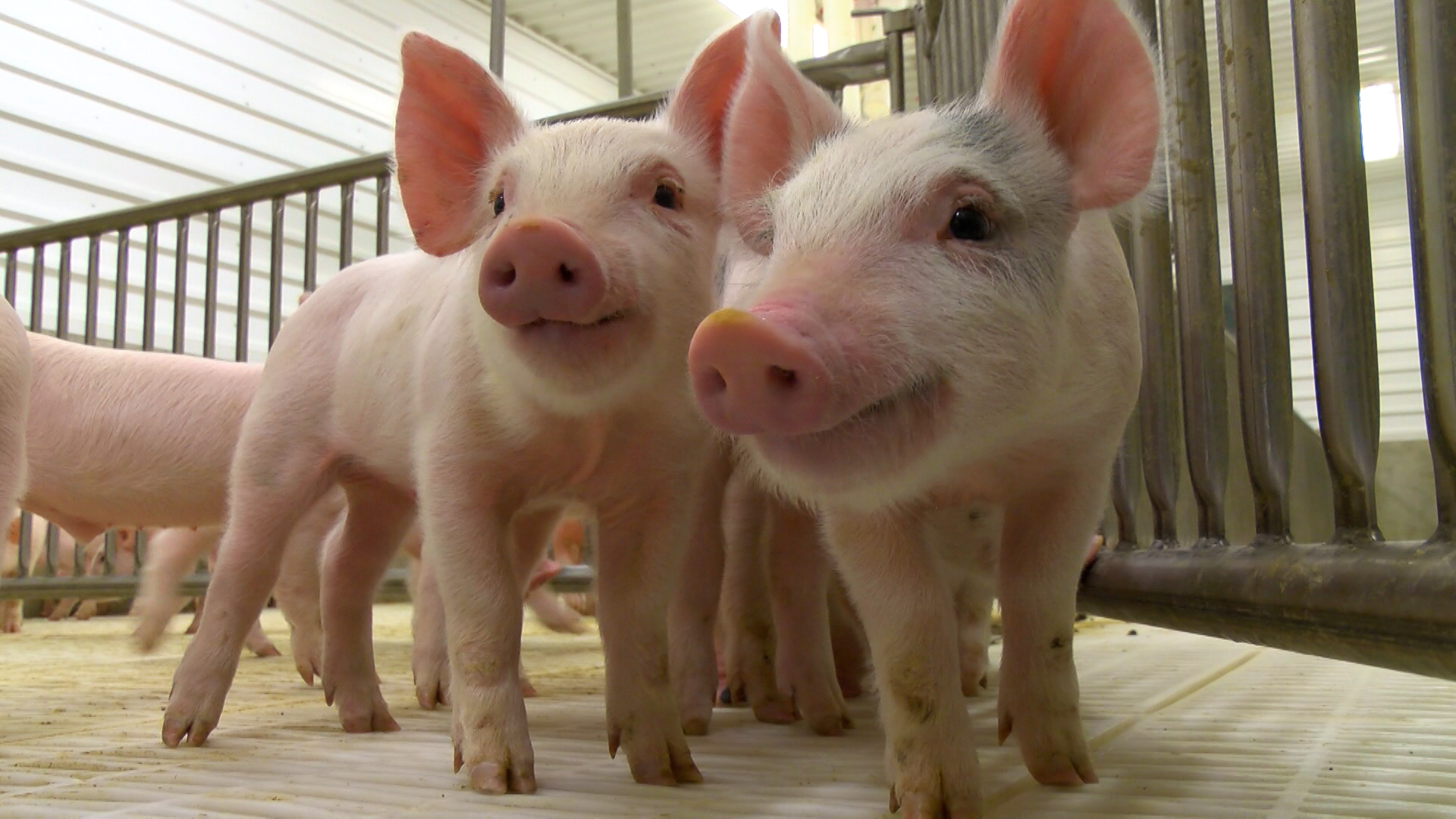 Spread Of Pig Virus Cancels 4 H Swine Shows For