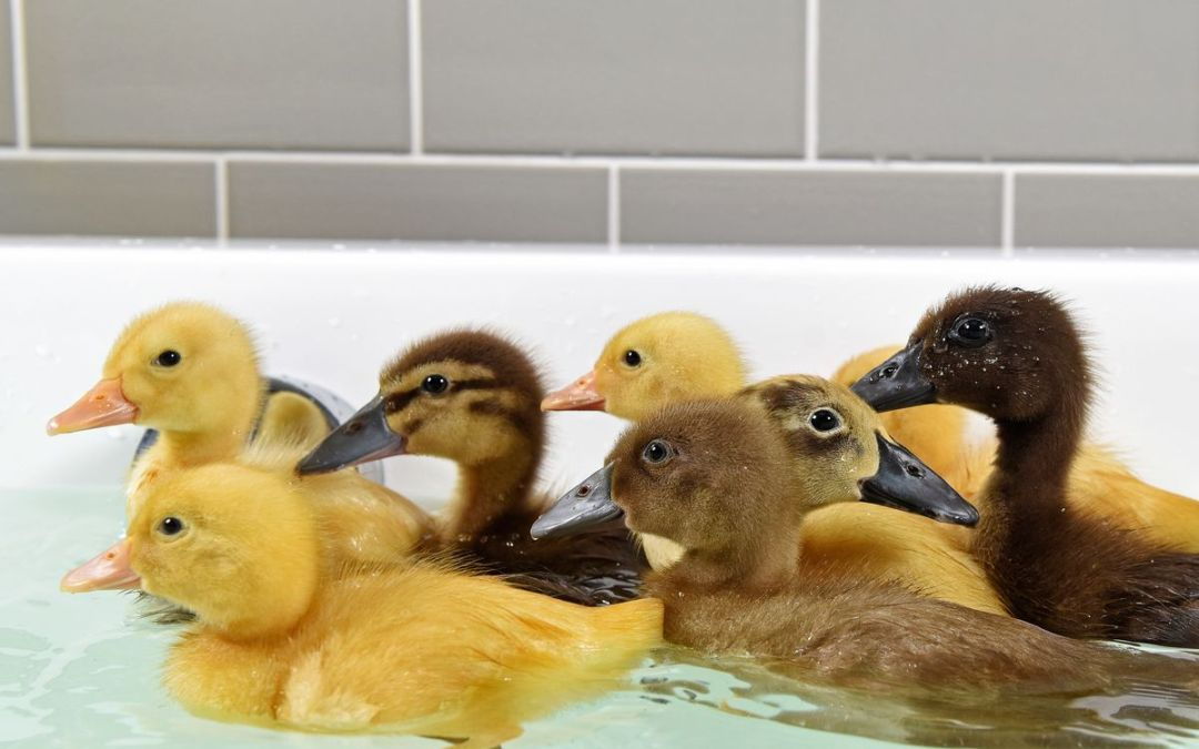 Welcome New Ducks and an Invitation