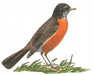 A little Turdus