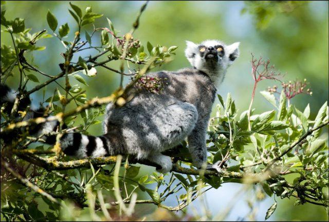 Looking at the ring tailed lemur predators