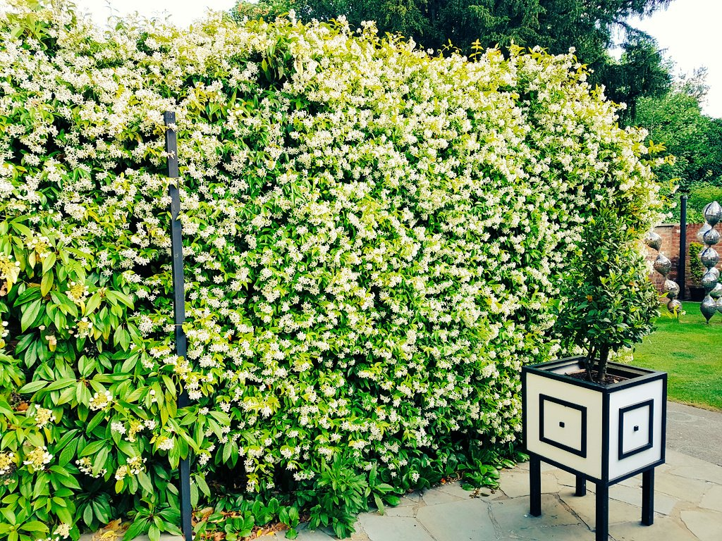 Jasmine on the terrace at 78 Derngate.