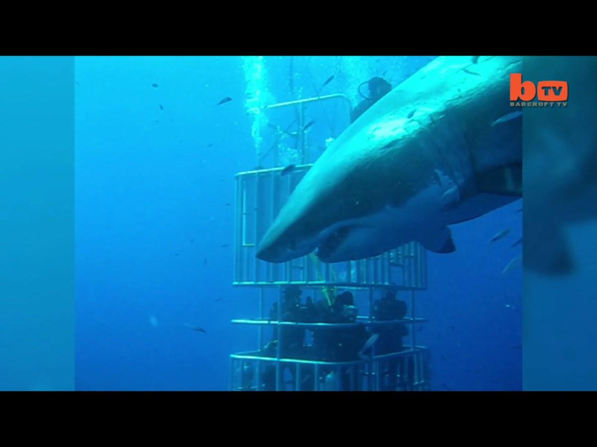 De grootste witte haai ooit gefilmd