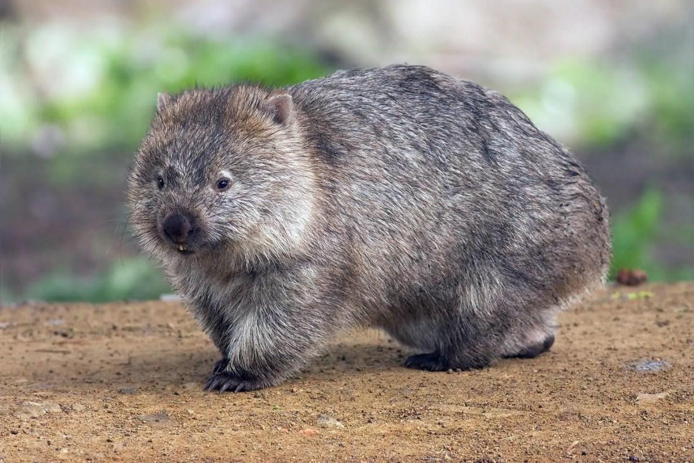 Wombats poepen blokjes