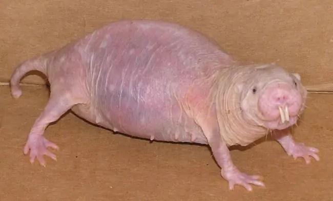 Jan Dijkgraaf is het vervelendste mannetje van Nederland en lijkt alleen maar qua uiterlijk op een naakte molrat.