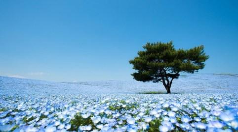 Cánh đồng hoa xanh ở Hitashi