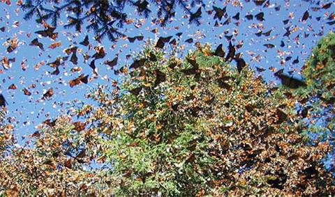 Băng qua từ Mỹ và Mexico, đàn bướm di cư cùng nhau với một số lượng khổng lồ chưa từng thấy.