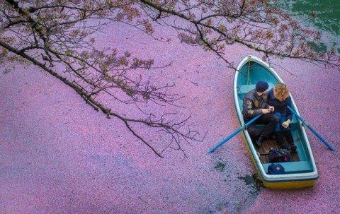 Sông hoa anh đào đẹp nghẹt thở ở Tokyo
