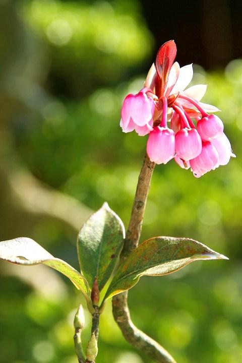 Vẻ đẹp của hoa đào chuông trên đỉnh Bà Nà