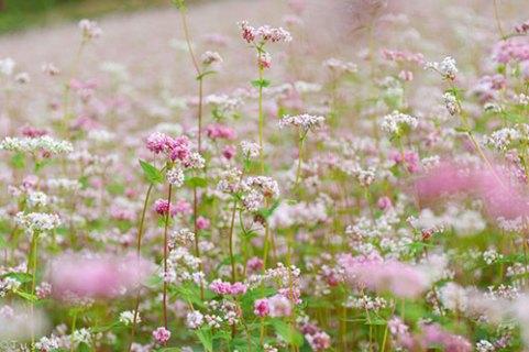 Đẹp say lòng mùa hoa tam giác mạch