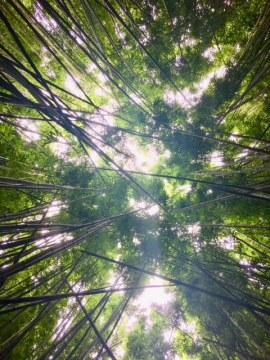 Bamboo along Pipiwai Trail