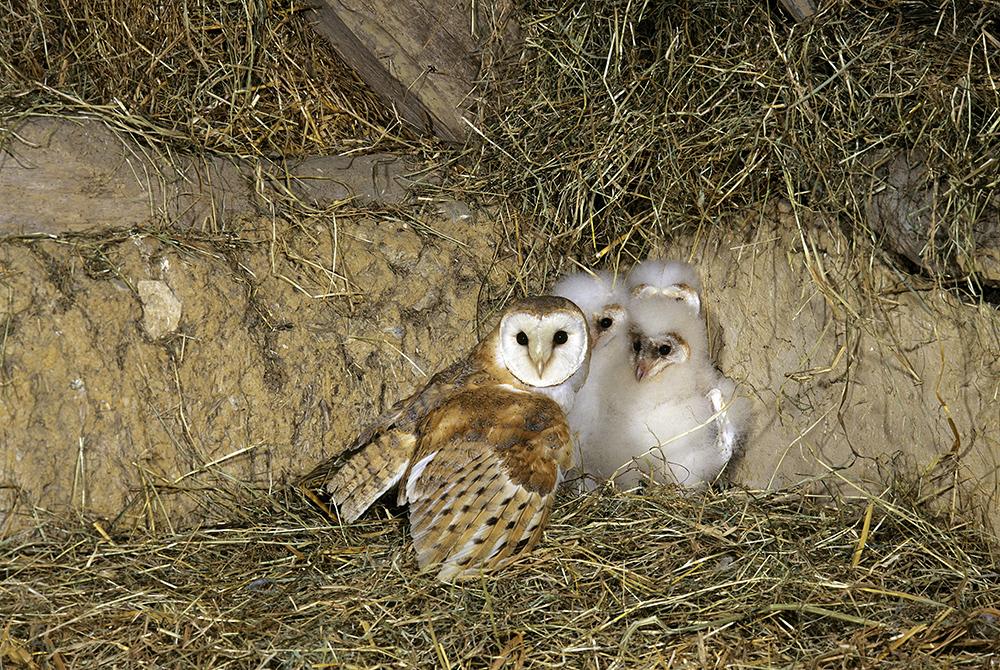 Barn Owl and Chicks