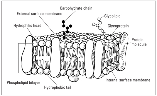 The Fluid Mosaic Model Of The Cell Plasma Membrane Dummies