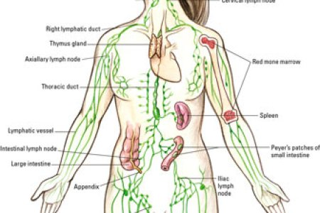 Inguinal lymph nodes location path decorations pictures full inguinal node diagram search for wiring diagrams female lymph nodes diagram lymph node in groin diagram male lymph rh humanbodyanatomy co inguinal lymph ccuart Gallery