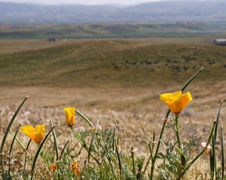 Antelope Valley Poppy Preserve 2015