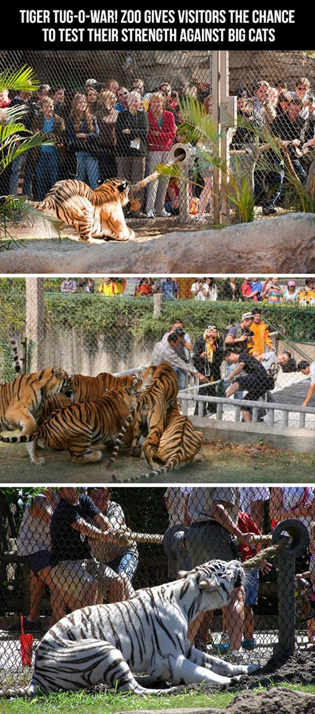tiger tug of war