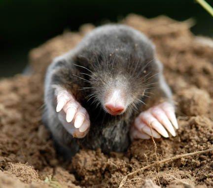 https://i2.wp.com/www.dumville.org/photos/mole_3a.jpg
