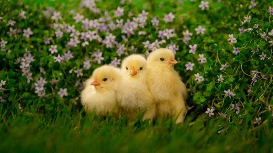 Lütfen civcivleri öpmeyiniz, tavuklarla uyumayınız.