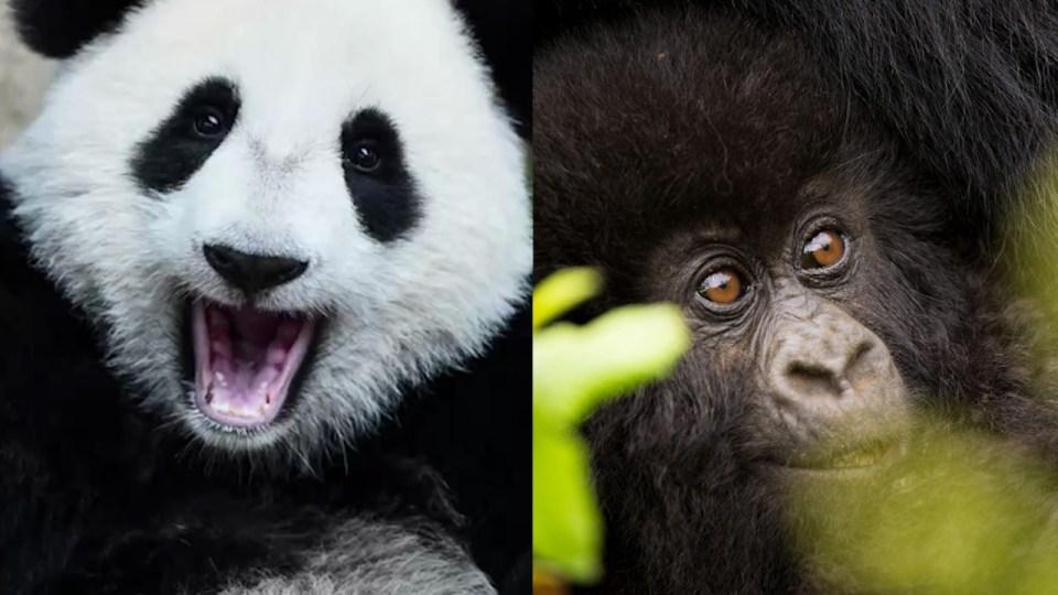 panda-gorilla