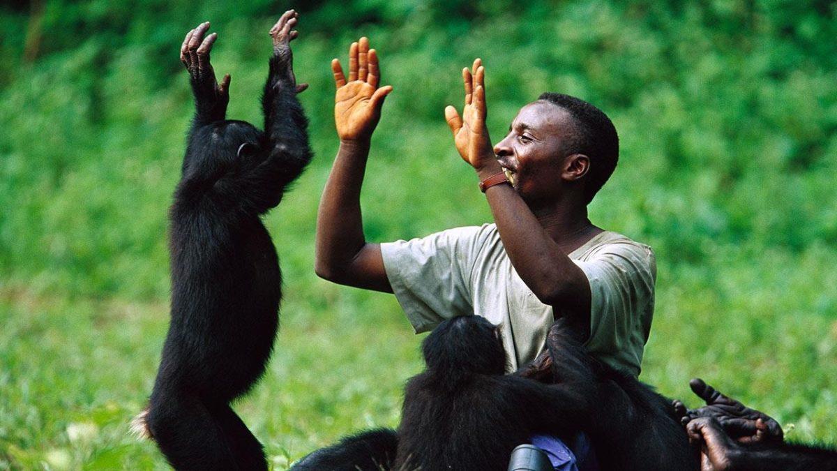 Şempanzeler birlikte film seyrettikleri insanlarla bağ kuruyor