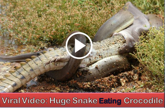 A Huge Snake Eating Crocodile After Winning The Fight
