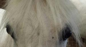 pony_ogen