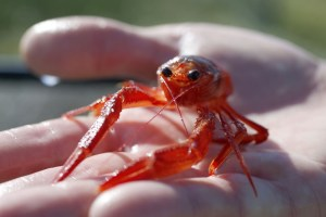 In this Jan. 27 2017, photo, professor of evolution and ecology Eric Sanford shows one of the pelagic red crabs at UC Davis Bodega Marine Laboratory, which were found washed ashore at Salmon Creek Beach, in Bodega Bay, Calif.  More than a dozen tiny red crabs have washed ashore in Northern California. They are thought to be the final remnants of a wave of southern species brought north by unusually warm waters. (Alvin Jornada/The Press Democrat via AP)