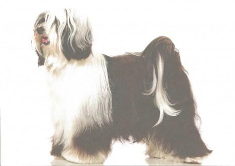 terrier du Tibet, Tibetain terrier