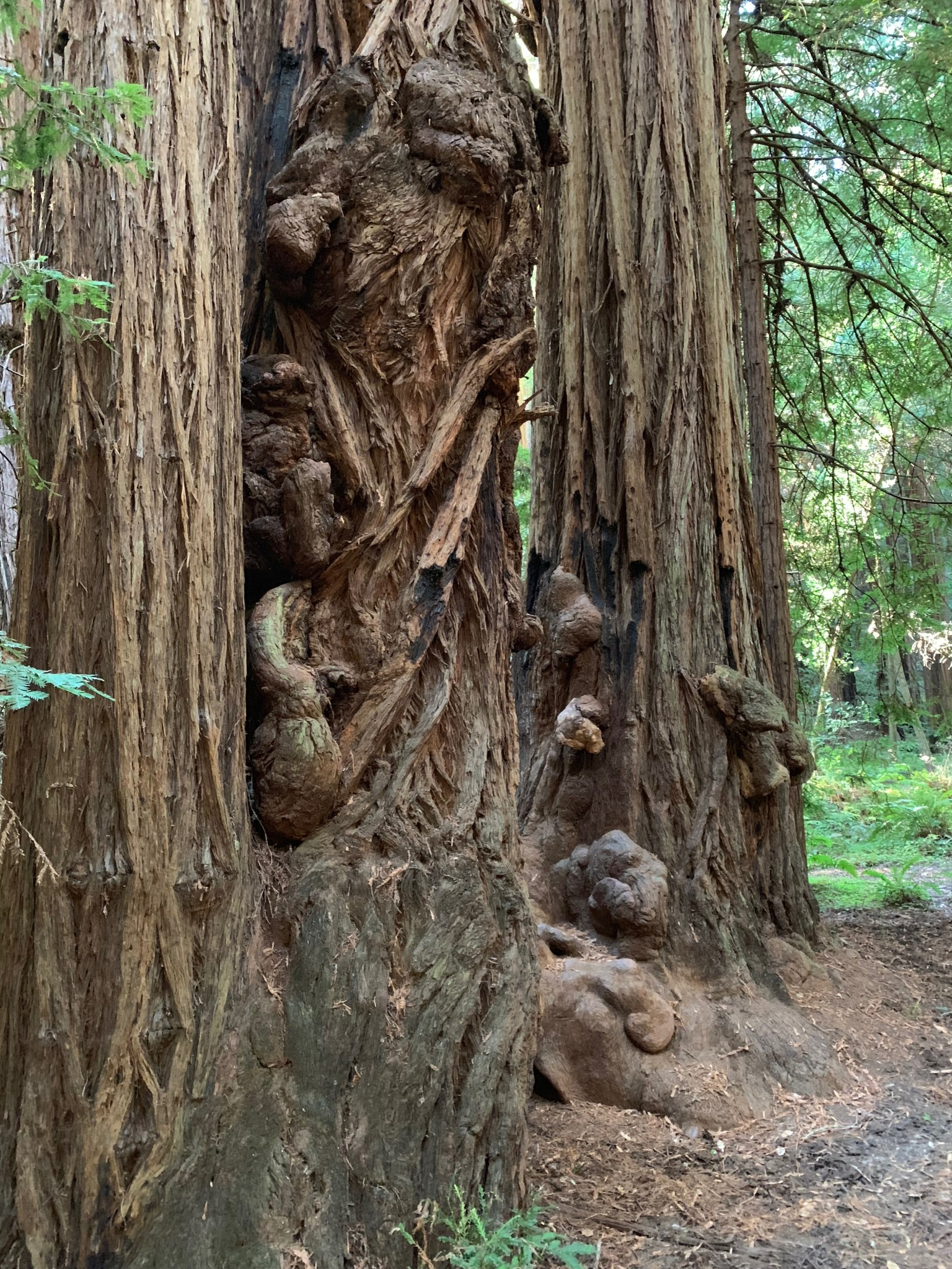 Knots on trees in Muir Woods