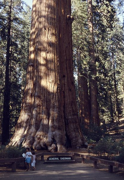 General Sherman tree, Sequoia Redwood, the largest living single-stem tree and largest living organism on earth in California
