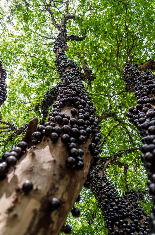 Jabuticaba, a Brazilian grape tree The fruit grows directly from the trunk and branches of the tree.