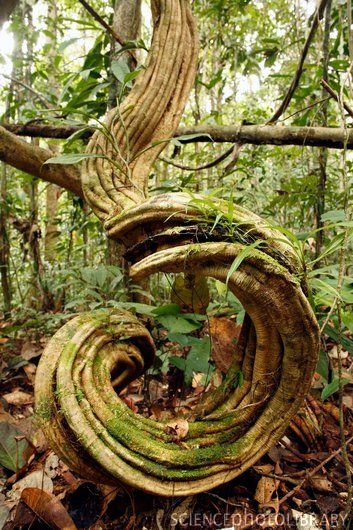 Rainforest undergrowth. Tangled lianas (woody vines) covered in moss, Peru