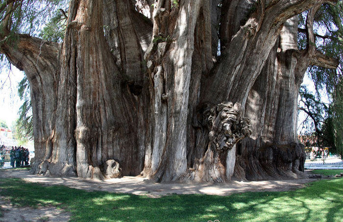 Tree of Tule, over 2000 years old