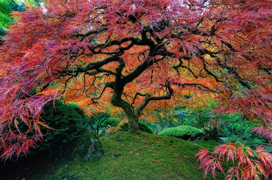 Japanese Maple in Portland, Oregon, USA by falcor88