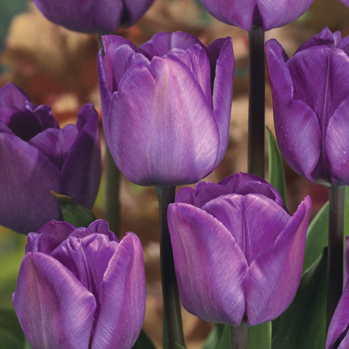 Triumph Tulip Magic Lavender   K  van Bourgondien Enlarge icon Triumph Tulip Magic Lavender