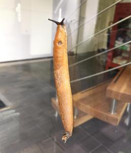Dutch Slug