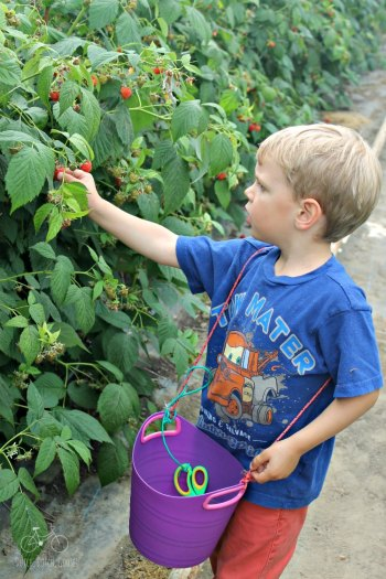 Raspberry Picking Netherlands Bucket