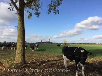 cheese-cows-in-the-field