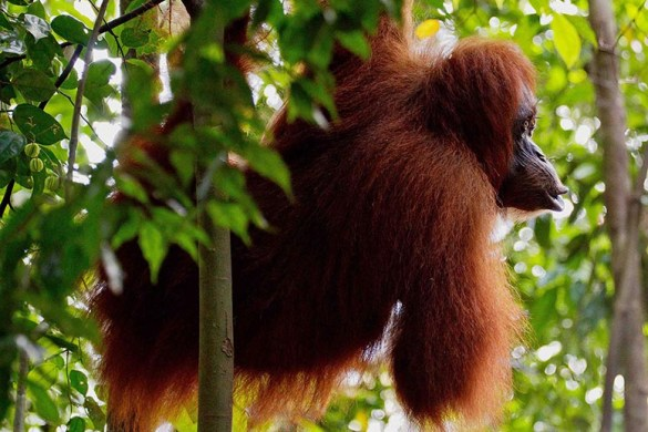 Bukit Lawang: op zoek naar orqang-oetans